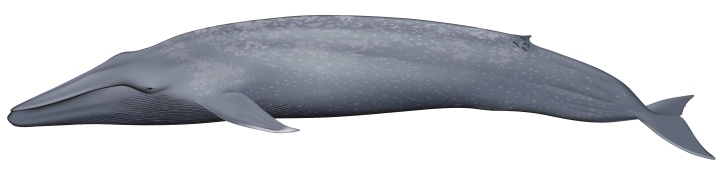 bluewhale_balaenoptera_musculus